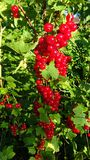 Plant, Berry, Currant, Fruit royalty free stock image