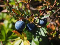 Plant, Berry, Fruit, Blueberry Stock Photo