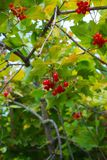 Plant, Berry, Fruit, Rowan royalty free stock photos