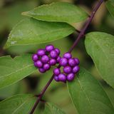 Plant, Berry, Leaf, Huckleberry royalty free stock photos