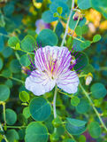 The plant is best known for the edible flower buds capers. Bea. Utiful details of a caper flower Royalty Free Stock Photo