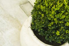 Plant in big ceramic pot. Close up Royalty Free Stock Photography