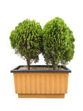 Plant in big ceramic pot on a background Stock Photography