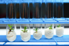 Plant biotechnology Series 2. Plant tissue culture in test tubes Stock Photo