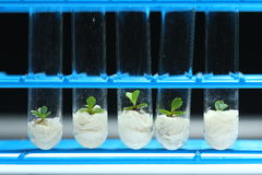 Plant biotechnology Series 3. Plant tissue culture in test tubes Stock Images
