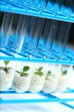 Plant biotechnology Series 7. Plant tissue culture in test tubes Royalty Free Stock Photography