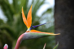 Plant bird of paradise Stock Photos