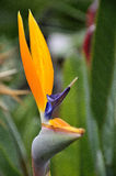 Plant bird of paradise Stock Images