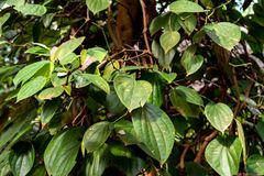Fresh green pepper or Piper nigrum. Plant of black pepper or Piper nigrum Stock Photo