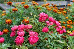 Plant blooming with pink flowers, in front of marigolds, in garden. Plant blooming with pink flowers in front of marigolds, in garden Royalty Free Stock Images