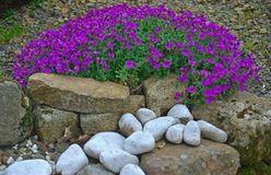 Free Plant Blooming With Small Violet Flowers On Stone Wall Stock Photography - 151865582