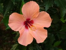 Plant, Blossom, Bloom, Hibiscus Royalty Free Stock Photography
