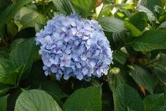 Plant, Blue, Flower, Hydrangea stock image