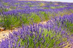 Plant of blue lavender royalty free stock images