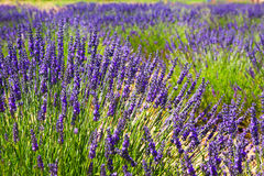 Plant of blue lavender. In sunny summer day stock image
