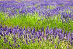 Plant of blue lavender royalty free stock photo