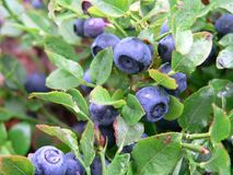 Plant, Blueberry, Berry, Flora Royalty Free Stock Images