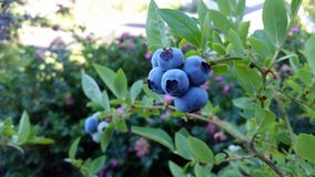 Plant, Blueberry, Fruit, Berry Stock Photo