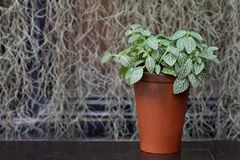 Plant in a boxwood  pot Royalty Free Stock Images