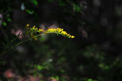 Branch with Tiny Yellow Flowers on Black Abstract Mood Backgroun royalty free stock image