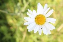 Yellow white flower royalty free stock photo