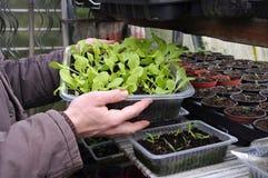 Plant breeding in spring Stock Image