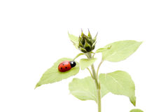 Plant with bud and ladybug Royalty Free Stock Photos