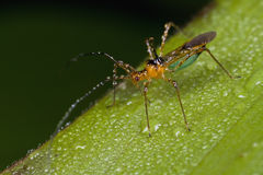 A plant bug/mirid bug covered with dew drops Stock Photo