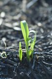 Plant on burned field Royalty Free Stock Photo