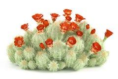Plant bush. Echinocereus triglochidiatus Stock Photography