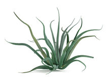 Plant bush isolated. Agave vilmoriniana Stock Image