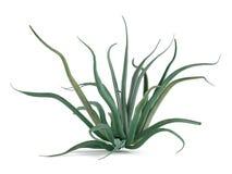 Plant bush isolated. Agave vilmoriniana Stock Image