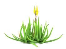Plant bush isolated. Aloe vera Royalty Free Stock Photos