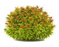 Plant bush isolated. Spiraea Stock Image
