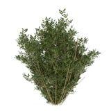 Plant bush isolated Stock Photography