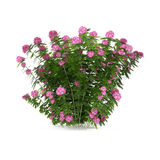 Plant bush with pink flowers isolated Royalty Free Stock Photography