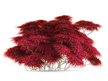Plant bush with red leaves . Royalty Free Stock Image