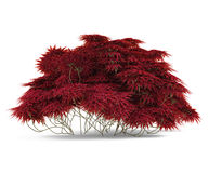 Plant bush with red leaves . Royalty Free Stock Photos