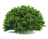 Plant bush . Royalty Free Stock Images