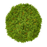 Plant bush top isolated. Stock Images