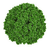 Plant bush top isolated. Royalty Free Stock Photo