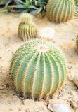 Plant cactaceae. Lot of small green plant cactaceae at desert garden ground royalty free stock photo