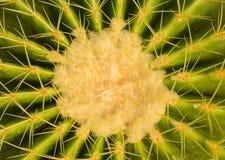 Plant cactaceae Stock Photography