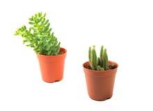 Plant cactus Royalty Free Stock Photos