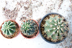 Plant_cactus. Cuctus pic from size to size from time to time Royalty Free Stock Images