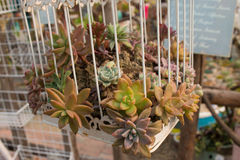 A plant in a cage. Succulent plants in cages.flower Royalty Free Stock Photography