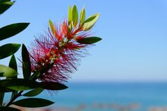 Plant of Callistemon with red bottlebrush flowers Royalty Free Stock Photo