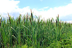 The plant cane Stock Photo