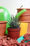 Plant care Haworthia. Pot plant care Haworthia pumila in the spring time Royalty Free Stock Image