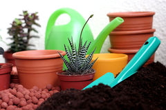 Plant care Haworthia. Pot plant care Haworthia pumila in the spring time Royalty Free Stock Images